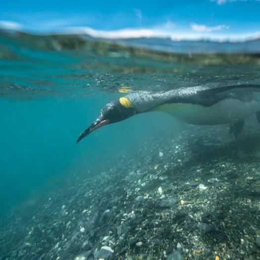 southern-ocean-penguin